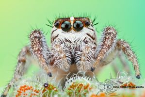 Jumping Spider - Phanias harfordii by ColinHuttonPhoto