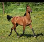 bay akhal-teke stallion 4 by venomxbaby