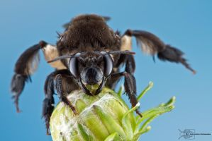 Grumpy Colombian bee by ColinHuttonPhoto