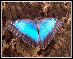 Blue Morpho by cycowolf