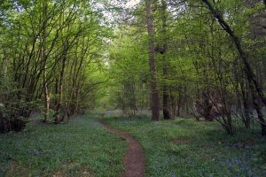 Bluebell Woods Stock 4 by Sassy-Stock