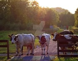 Glowing cows by MDGallery