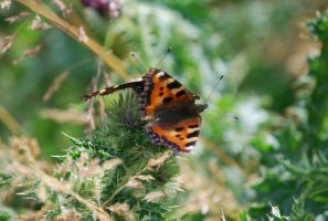 Red Admiral Butterfly by chew1232