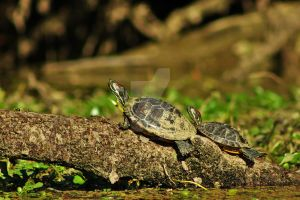 Painted Turtles by snoboarderEm