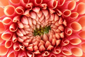 Beautiful Dahlia by debgay