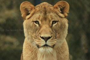 Lioness Portrait by timseydell
