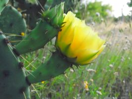 Cactus Flower and Bud by TheGerm84