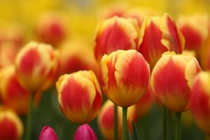Bright Tulips by froggynaan
