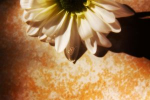 Daisy Background II by Shanibelle