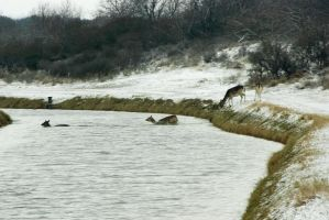Fallow Deer crossing the canal by steppeland