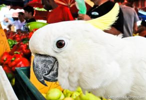 Cacatua sulphurea 2 by kitty974