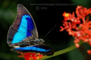 Little Blue Butterfly by mentaldragon