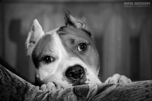 sad pitbull by Zheltkevich