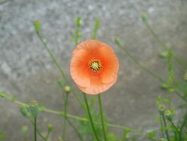 Red Poppy by rlkitterman