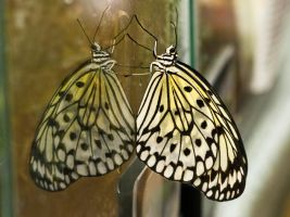 Butterfly Reflected by muffet1