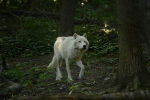 New White Wolves 6 by Lakela