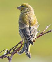 European Greenfinch by nordfold