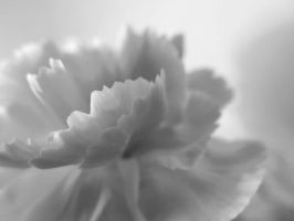 Carnation in Black and White by tracy-Me