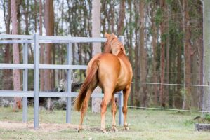 Dn warmblood standing view from behind by Chunga-Stock