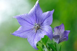 Balloon Flower by salman-khan