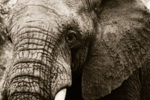 Elephant by JulianaMorris