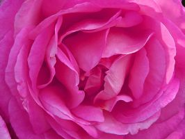 What's in a Rose by MichelLalonde