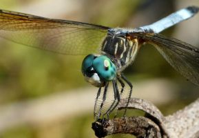 Blue Dasher by duggiehoo