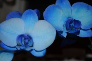 Blue Orchid 3 by Singing-Wolf-12