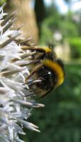 Thistle by Betws-Y-Coed
