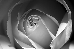 white rose by poivre