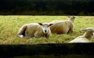 Sheeps by Candilux