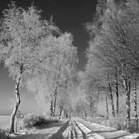 birch alley in winter by augenweide