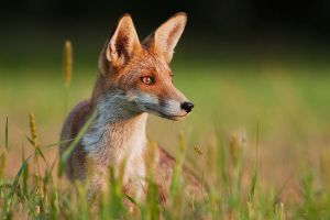 Evening fox by JMrocek