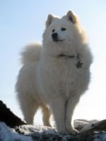 samoyed by bubumo