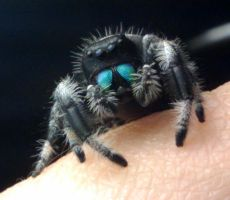 Sting a male Phidippus regius by TheTyro