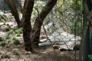 White Tiger 01 by Lickried