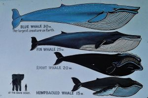 Whale facts 2 by LadyGhostEyes
