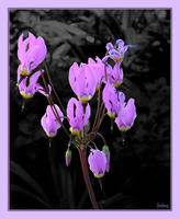 Cyclamen by Sedma