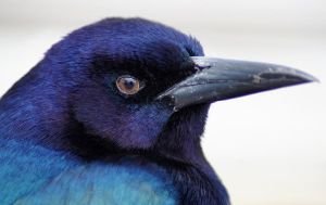 Elegant Grackle Profile by Fail-Avenger