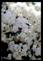 White flowers by PauloOliveira