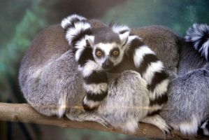 Ring-tailed Lemur by LHufford