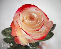 Two Toned Rose by ViolettaChantecler