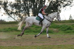 Dapple Gray Warmblood Cross Country Evening by HorseStockPhotos