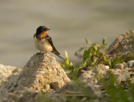 Barn Swallow June - 2014 - 23 - 3 by toshema