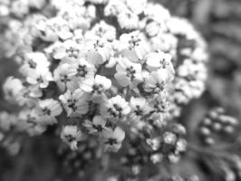 'Little White Flowers' by ilovelucy365