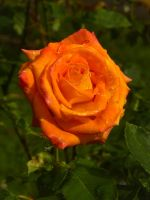 Orange Rose by DaisyDinkle