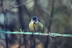 Blue Tit by UnrehearsedSplendour