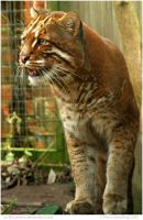 Golden Cat by In-the-picture