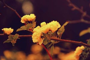 Yellow mini roses by ShlomitMessica
