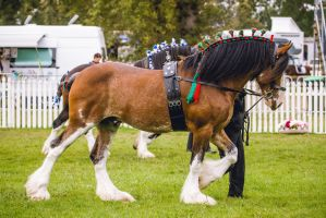 Bay Clydesdale Stallion by DWDStock
